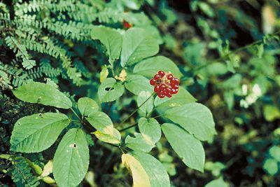 Plantas para atraer el amor - Ginseng