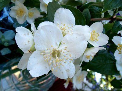Flores Jazmín